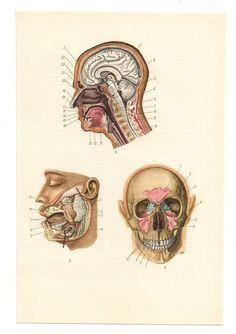 from https://www.etsy.com/listing/118364750/2-vintage-anatomical-prints-skull-head?ref=shop_home_active    2 Vintage Anatomical Prints skull head Medical Diagrams blood skeleton illustrations Anatomy Print Paper Ephemera Old Victorian