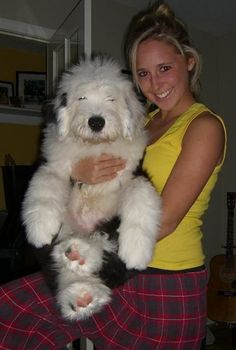 old english sheepdog, he looks like a stuffed animal!!