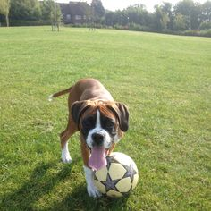 Football with the boxer dog