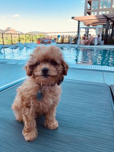 Mini Cockapoo, Cockapoo Puppies, Getting A Puppy, Dogs, Animals, Animales, Animaux, Animal Memes, Animal