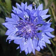 bachelors buttons wild flower | Bachelor's Button CU