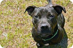 Brooksville, FL - Labrador Retriever Mix. Meet PRESLEY, a dog for adoption. http://www.adoptapet.com/pet/17433560-brooksville-florida-labrador-retriever-mix