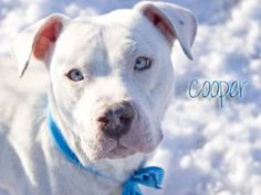 Cooper, a blue-eyed adoptable #PitBull Terrier Dog in #Indy.