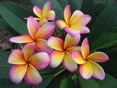 Rainbow Plumeria;a/k/a Frangipani