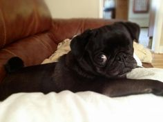 OMGGG a one-eyed black pug. I'll take it! I'll take it RIGHT now!!!