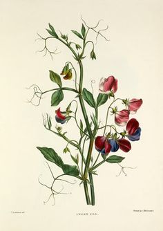 Beautiful Royal Horticultural Society floral prints from Easyart : Pierre-Joseph Redouté Art And Illustration, Floral Illustrations, Vintage Botanical Prints, Botanical Drawings, Botanical Flowers, Botanical Art, Sweet Pea Flowers, Floral Prints, Art Prints