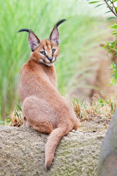 Caracal kitten (by Arman Werth on 500px)