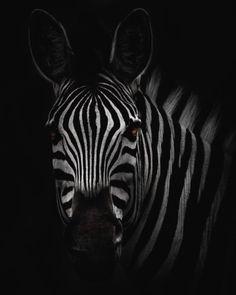 Wildlife Photography, Animal Photography, White Photography, Zebra Pictures, Zebra Nursery, Plains Zebra, White Plains, Slider, Urbane Kunst