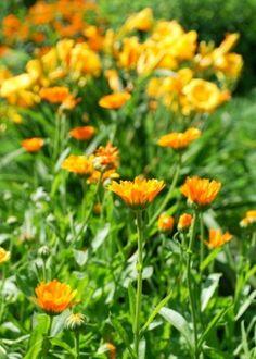 an edible flower garden