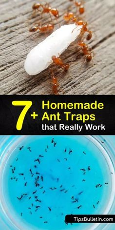 Learn how to make a homemade ant trap as a form of DIY pest control. Tempt the pests with an ant bait like powdered sugar or peanut butter, then kill ants with Borax or baking soda. Target sugar ants, fire ants, and more with a homemade ant killer. #trap #ants #diyanttraps #killants Ant Traps Homemade, Homemade Ant Killer, Ant Killer Borax, Borax For Ants, Sugar Ants, Ant Spray, Diy Pest Control, Bug Control, Bait Trap