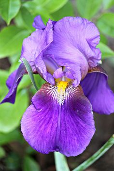 Iris - The Iris brings a message of hope or sorrow.  It is one of the state flowers of Tennessee. A stylized Yellow Iris is the symbol of Brussels, now the sole feature on the flag of the Brussels-Capital Region.  The provincial flower of Québec, Canada is the Harlequin Blueflag called iris versicolore in French.