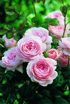 Lakei Boomkwekerijen - heerlijk geurende rozen en seringen