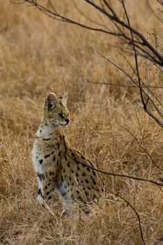 Rare sighting of a serval at Sabi Sabi Private Game Reserve, South #Africa! #wildlife #travel