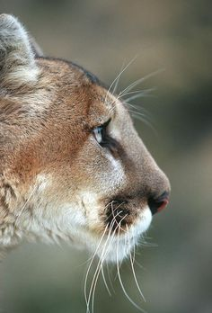 Mountain Lion (felis Concolor 1 by Richard and Susan Day Big Cats, Cats And Kittens, Cute Cats, Funny Cats, Pumas Animal, Beautiful Cats, Animals Beautiful, Chat Lion, Lion Tigre