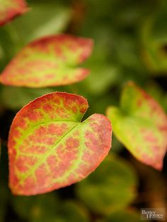 Epimedium- One of the best perennials for shady spots, Epimedium, commonly called barrenwort