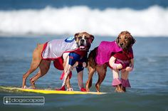 We had so much fun photographing the amazingly talented surfing dogs at the 8th Annual Helen Woodward Animal Center 's Surf Dog Surf-A-Thon today! The event was at Del Mar Dog Beach, San Diego. All the official photos of the action coming soon to dogscapes.com #boxer #golden #retriever #surfingdog
