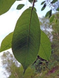 Lehtipuut Tunnistaminen