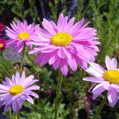Tanacetum coc.'Robinsons Rosa' Rosenkrave, Krysanthemum