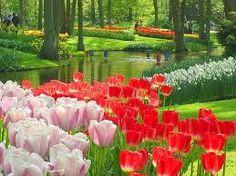 Resultado de imagem para tulipas holanda