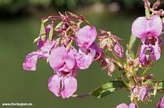Indisches #Springkraut, Drüsiges Springkraut, #Impatiens glandulifera  http://www.florilegium.de/blog/pflanzen/heimische-wildpflanzen-und-wildkraeuter/neophyten-das-indische-springkraut-impatiens-glandulifera.html