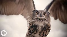 It's stealth, not speed that makes owls such exceptional hunters. Zoom way in on their phenomenal feathers to see what makes them whisper-quiet. SUBSCRIBE to...