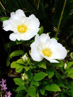 Rosa laevigata ロサ ラビガータ Old rose