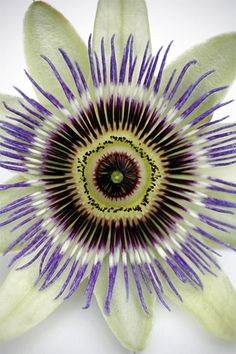 Passion flower - natural art in the garden We have these in the yard. The vines go everywhere-lol! The fruit is delish. We have to pollinate them ourselves with a feather since there are only a few bees here on Oahu.