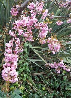 Cherry blossom, Apr 20. http://www.mandycanudigit.co.uk/#!stems-bark-blossom/c1lpp