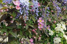 Klimplanten combinatie van Clematis montana var. rubens (bosrank) met Wisteria sinensis 'Prolific' (blauwe regen).