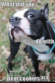 Funny Boston Terrier | Hotdog - boston terrier, Cute Puppies - funny ... – More at http://www.GlobeTransformer.org