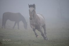 Horses in the mist by Khedron #animals #animal #pet #pets #animales #animallovers #photooftheday #amazing #picoftheday