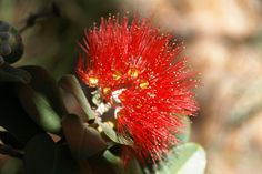 ohia lehua blossom...Hawaiian traditions refer to the tree and the forests it forms as sacred to Pele, the volcano goddess, and to Laka, the goddess of hula; local legend has it that picking this flower will bring rain, unless the person harvesting it is named Lehua...