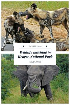 Wildlife Watching in Kruger National Park #africanwildlife #Kruger #WildlifeTravel