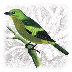 Sanhaço-do-Coqueiro (Thraupis palmarum)
