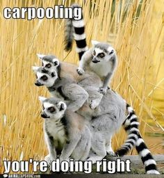 Carpooling Lemurs