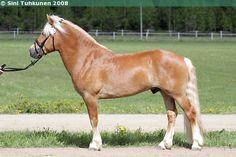 Finnhorse - stallion Ukkosen Jyrinä
