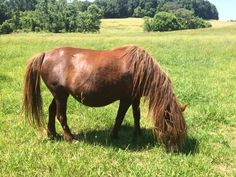 #mini #pregnant #comingsoon #madisonfields Miniature Horses, Montgomery County, Fields