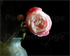 Anke Brehm - Rosa Rose