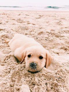 cute puppies golden retriever the beach * puppies on beach puppies at the beach beach puppies cute puppies at the beach cute puppies beach german shepherd puppies beach cute puppies golden retriever the beach cute puppies on beach Perro Labrador Retriever, Retriever Puppy, Golden Retriever Puppies, Labrador Puppies, Cute Dogs And Puppies, Bulldog Puppies, Doggies, Cute Puppy Pics, Puppies Puppies