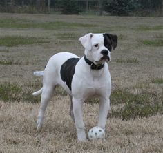 John D. Johnson American Bulldogs - Satisfied Clients