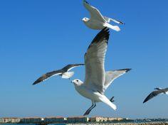 Gulls, downtown Fort Pierce