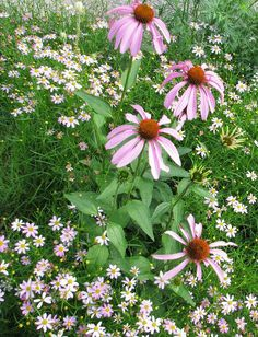 Coreopsis and coneflower combo.