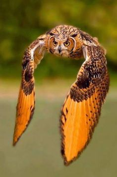 Love birds of prey. So amazing Wow Photo, Photo Animaliere, Beautiful Owl, Animals Beautiful, Cute Animals, Funny Animals, Great Horned Owl, Owl Bird, Tier Fotos
