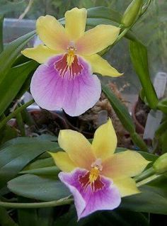 Miltonia sunset orchid