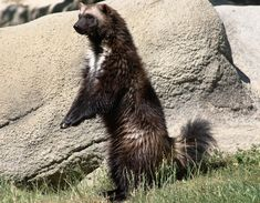 Found in isolated, northerly regions of North America, Eastern Europe and Asia, the wolverine is a shy animal that favors the deep wilderness.  It is known for its elusiveness, voracious appetite and formidable demeanor. (Photo by Kathryn Clappison)