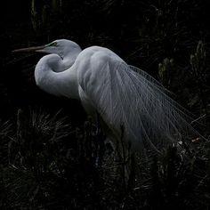 Beautiful Egret Portrait - by rgdresser, via Flickr