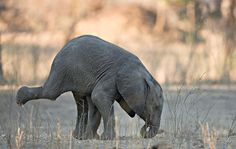 Elephants should only be doing headstands in the wild. Say NO to captivity. Photo © Morkel Erasmus