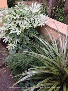 """Beautiful combination from Bloomtown: """"Plants, back to front: Fatsia japonica 'Spider's Web', Podocarpus alpinus 'County Park Fire', Astelia 'Westand' (though could possibly be A. 'Red Gem' which I'm using more frequently than 'Westland' at this point). Garden Shrubs, Garden Plants, Back Gardens, Small Gardens, Fatsia Japonica, Evergreen Vines, Growing Greens, Heuchera, Garden Landscape Design"""