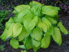 """Hosta """"Stained Glass""""....my favorite"""