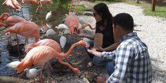 Hand-feeding flamingos at Sarasota Jungle Gardens.  Photo credit: Robin Draper.